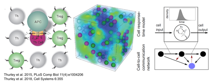 spatio-temporal simulation of Th cell interaction